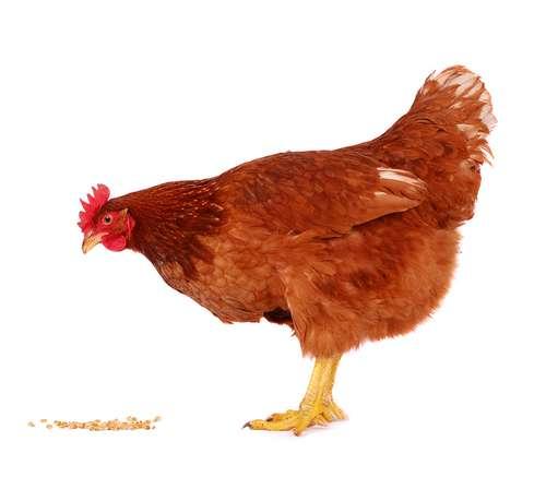 poule_rousse_graines_fond_blanc
