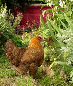 poule-jardin
